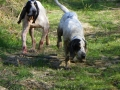 Chiens chasse